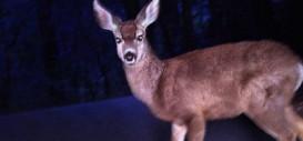 Caution: Deer Ahead